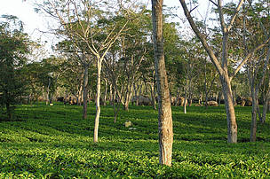 A Tea garden in North Bank with elephants