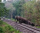 Elephant herd approaching the Railway track
