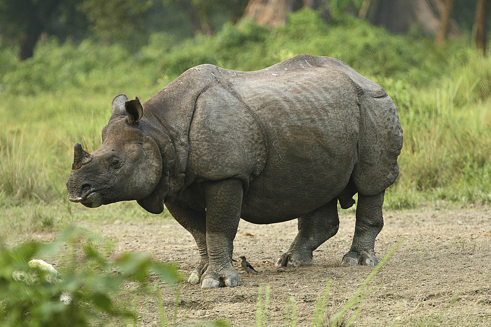 ALL ABOUT THE RHINOCEROS