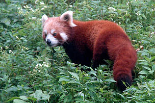 Magnificent creatures like the Red Panda are endangered by human impacts in AP