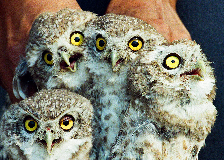 Black magic behind illegal owl trade in India | WWF India