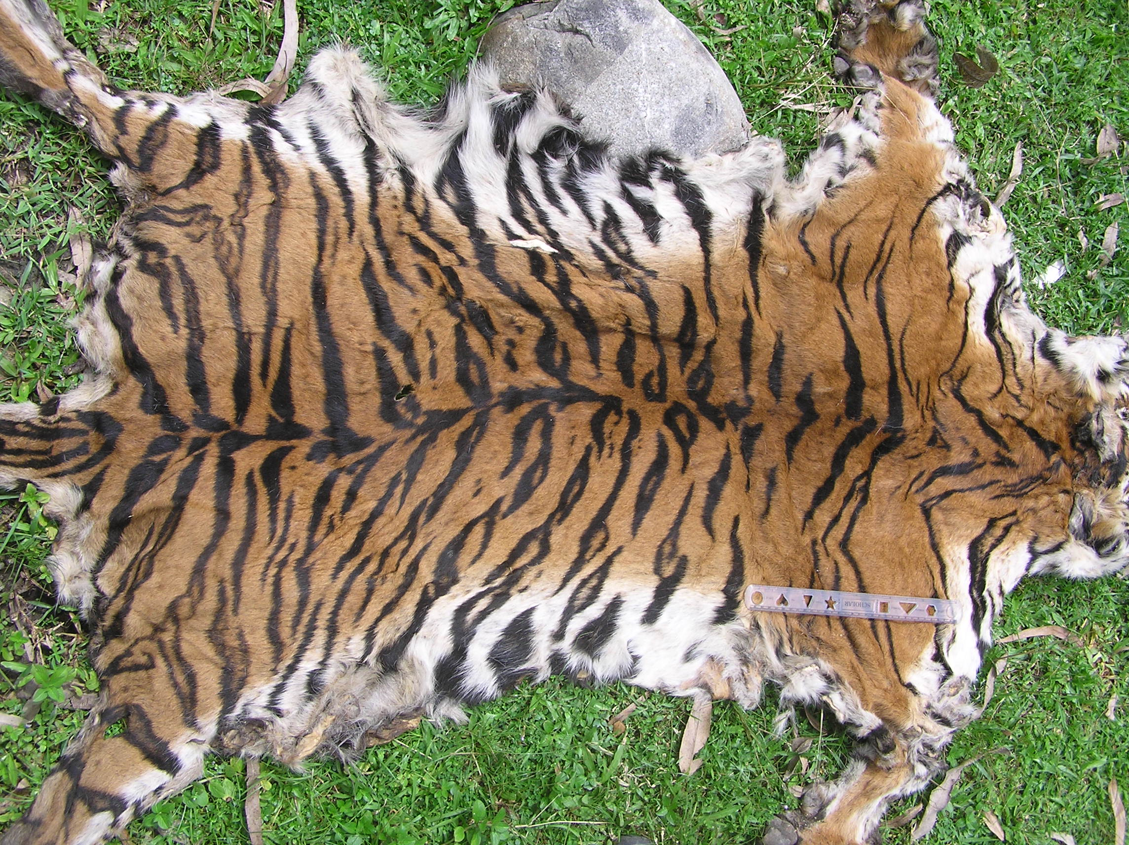 how to stop tigers becoming extinct