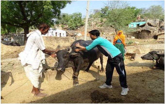 H F Cattle India Livestock vacci...