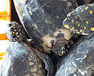 Illegally traded Black Spotted Turtles Geoclemyshamiltonii in transport