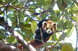 The red panda sighted at Komratsar in Arunachal Pradesh