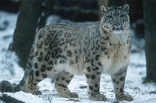 Snow leopards live in mountain steppes and coniferous forest scrub at altitudes ranging from 2000 to 6000 meters. In the summer they frequent alpine meadows and rocky areas, and in the winter they may follow prey into forests below 1800 meters.