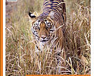 Status and Conservation of tigers and their prey in the Uttar Pradesh Terai