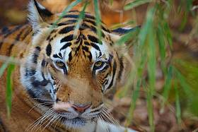 Why should we save tigers? | WWF India
