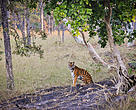 Wild Tiger in Kanha, India